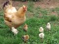 05-21-10_hen-baby-chickens_0632
