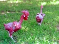 featherless_chicken1